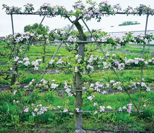 Яблони для выращивания на шпалере 85